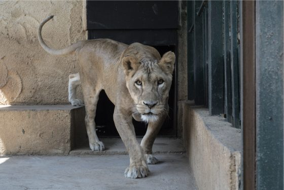 This lioness' cement-floored cage at Animal City is too small for her to be able to run around or do any exercise