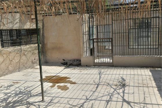 A hyena hiding in a shaded corner of its cage near what appears to be a pool of urine at Animal City