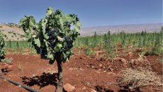 Deir El Ahmar is slowly but surely changing its reputation from a marijuana growing village to a winemaking one (Photo by Greg Demarque)